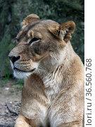 Löwin. Стоковое фото, фотограф Zoonar.com/Martina Berg / easy Fotostock / Фотобанк Лори