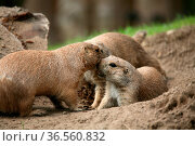 Cynomys ludovicianus in einem Tierpark. Стоковое фото, фотограф Zoonar.com/Martina Berg / easy Fotostock / Фотобанк Лори