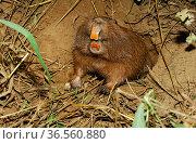 Conover's tuco-tuco (Ctenomys conoveri) digging burrow Kaa-Iya National Park, Bolivia. Стоковое фото, фотограф Daniel  Heuclin / Nature Picture Library / Фотобанк Лори