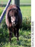Shetlandpony. Стоковое фото, фотограф Zoonar.com/Martina Berg / easy Fotostock / Фотобанк Лори