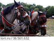 Geschmückte Pferde. Стоковое фото, фотограф Zoonar.com/Martina Berg / easy Fotostock / Фотобанк Лори