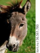 Zottiges Nutztier. Стоковое фото, фотограф Zoonar.com/Martina Berg / easy Fotostock / Фотобанк Лори