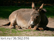 Equus asinus asinus. Стоковое фото, фотограф Zoonar.com/Martina Berg / easy Fotostock / Фотобанк Лори
