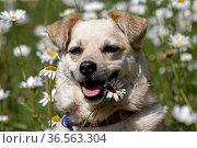 Mischlingshund sitz in Margeritenwiese. Стоковое фото, фотограф Zoonar.com/Martina Berg / easy Fotostock / Фотобанк Лори