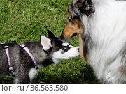 Husky-Welpe und Langhaar-Collie. Стоковое фото, фотограф Zoonar.com/Martina Berg / easy Fotostock / Фотобанк Лори
