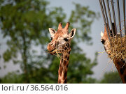Giraffen am Futterkorb. Стоковое фото, фотограф Zoonar.com/Martina Berg / easy Fotostock / Фотобанк Лори