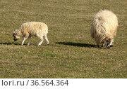 Walachenschafe, Ovis ammon f. aries, Стоковое фото, фотограф Zoonar.com/Manfred Ruckszio / easy Fotostock / Фотобанк Лори
