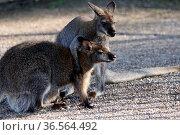 Kämpfende Bennett-Kängurus. Стоковое фото, фотограф Zoonar.com/Martina Berg / easy Fotostock / Фотобанк Лори