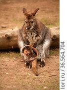Schon recht abenteuerlich, wie dieses schon recht große Känguru-Baby... Стоковое фото, фотограф Zoonar.com/Martina Berg / easy Fotostock / Фотобанк Лори