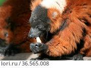 Diese seltenen Lemuren gibt es nur (noch) auf Madagaskar. Стоковое фото, фотограф Zoonar.com/Martina Berg / easy Fotostock / Фотобанк Лори