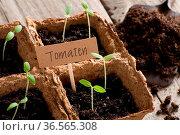 Junge Tomatenpflänzchen wachsen in Torftöpfen. Стоковое фото, фотограф Zoonar.com/Petra Schüller / easy Fotostock / Фотобанк Лори
