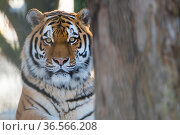 Siberian tiger (Panthera tigris altaica) in snow, captive. Стоковое фото, фотограф Edwin Giesbers / Nature Picture Library / Фотобанк Лори