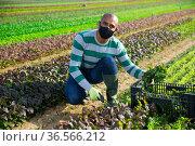 Hispanic farmer in protective mask harvesting red leaf mustard. Стоковое фото, фотограф Яков Филимонов / Фотобанк Лори
