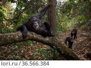 Eastern chimpanzee  (Pan troglodytes schweinfurtheii) female 'Tanga' aged 24 years resting on a branch.Gombe National Park, Tanzania. Стоковое фото, фотограф Anup Shah / Nature Picture Library / Фотобанк Лори