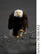 Bald eagle (Haliaeetus leucocephalus) portrait whilst walking, Alaska, USA, February. Стоковое фото, фотограф Danny Green / Nature Picture Library / Фотобанк Лори