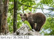 European brown bear (Ursus arctos), juvenile standing on rocks in the Karst forest, Notranjska, Slovenia. Стоковое фото, фотограф Franco  Banfi / Nature Picture Library / Фотобанк Лори