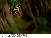 Bengal tiger (Panthera tigris) eye in the forest, Ranthambhore, India. Стоковое фото, фотограф Andy Rouse / Nature Picture Library / Фотобанк Лори