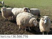 Walachenschafe, Ovis ammon f. aries, Zackelschaf. Стоковое фото, фотограф Zoonar.com/Manfred Ruckszio / easy Fotostock / Фотобанк Лори