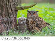 Eagle owl (Bubo bubo) adult and chick at nest, Netherlands. May. Стоковое фото, фотограф Edwin Giesbers / Nature Picture Library / Фотобанк Лори