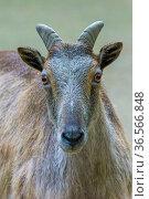 Himalayan tahr (Hemitragus jemlahicus) female. Captive, Netherlands. Стоковое фото, фотограф Edwin Giesbers / Nature Picture Library / Фотобанк Лори