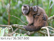 Tufted / Brown capuchin (Cebus apella), female with baby on back, sitting in tree, mid-altitude montane forest, Manu Biosphere Reserve, Peru. Стоковое фото, фотограф Nick Garbutt / Nature Picture Library / Фотобанк Лори