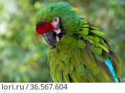Military macaw (Ara militaris) preening. Captive. Стоковое фото, фотограф Lynn M. Stone / Nature Picture Library / Фотобанк Лори