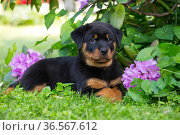 Rottweiler puppy lying beside Rhododendron flowers. Haddam, Connecticut, USA. May. Стоковое фото, фотограф Lynn M. Stone / Nature Picture Library / Фотобанк Лори