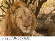 Lion (Panthera leo) portrait, South Luangwa National Park, Zambia. August. Стоковое фото, фотограф Kristel  Richard / Nature Picture Library / Фотобанк Лори