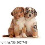Two merle Mini American Shepherd puppies. Стоковое фото, фотограф Mark Taylor / Nature Picture Library / Фотобанк Лори