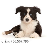 RF - Black-and-white Miniature American Shepherd puppy. (This image may be licensed either as rights managed or royalty free.) Стоковое фото, фотограф Mark Taylor / Nature Picture Library / Фотобанк Лори