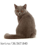 RF - Blue British Shorthair kitten, looking over shoulder. (This image may be licensed either as rights managed or royalty free.) Стоковое фото, фотограф Mark Taylor / Nature Picture Library / Фотобанк Лори