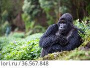 Mountain gorilla (Gorilla beringei beringei) silverback sitting amongst Potato crop on farmland next to / outside Volcanoes National Park, Rwanda. Стоковое фото, фотограф Christophe Courteau / Nature Picture Library / Фотобанк Лори