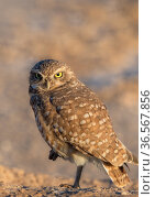 Burrowing owl (Athene cunicularia) portrait, looking at camera in morning light. Marana, Arizona, USA. Стоковое фото, фотограф Jack Dykinga / Nature Picture Library / Фотобанк Лори