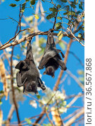 Black flying fox (Pteropus alecto), mother and baby roosting on branch. Kununurra, Western Australia. Стоковое фото, фотограф Steven David Miller / Nature Picture Library / Фотобанк Лори