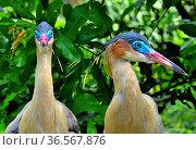 Whistling heron (Syrigma sibilatrix sibilatrix), southern subspecies, native to Bolivia. Captive. Стоковое фото, фотограф Daniel  Heuclin / Nature Picture Library / Фотобанк Лори
