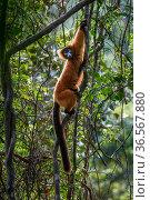 Red ruffed lemur (Varecia rubra), female climbing in lowland rainforest understorey. Masoala National Park, north east Madagascar. Стоковое фото, фотограф Nick Garbutt / Nature Picture Library / Фотобанк Лори