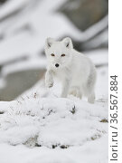 Arctic fox (Vulpes lagopus), juvenile running through snow, winter pelage. Dovrefjell National Park, Norway. September. Стоковое фото, фотограф Staffan Widstrand / Nature Picture Library / Фотобанк Лори
