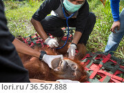 Vet examining Sumatran orangutan (Pongo abelii) female rescued by Human Orangutan Conflict Response Unit. Rescued from area of clearcut forest and later... Стоковое фото, фотограф Suzi Eszterhas / Nature Picture Library / Фотобанк Лори