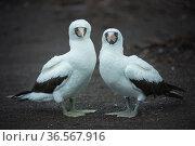 Nazca booby (Sula granti) pair. Genovesa Island, Galapagos. Стоковое фото, фотограф Tui De Roy / Nature Picture Library / Фотобанк Лори