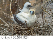 Red-footed booby (Sula sula), adult and chick at nest. Gardner Islet, Floreana Island, Galapagos. Стоковое фото, фотограф Tui De Roy / Nature Picture Library / Фотобанк Лори