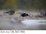Black Grouse (Tetrao tetrix) female at lek with male in background. Vorumaa, Southern Estonia. April. Стоковое фото, фотограф Sven  Zacek / Nature Picture Library / Фотобанк Лори