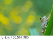 Lemon-yellow tree frog (Hyla savignyi) resting on plant. Cyprus. April. Стоковое фото, фотограф Edwin Giesbers / Nature Picture Library / Фотобанк Лори