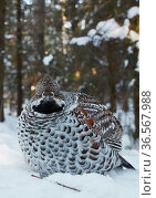 Hazel grouse (Tetrastes bonasia) standing in snow at forest edge. Helsinki, Finland. February. Стоковое фото, фотограф Markus Varesvuo / Nature Picture Library / Фотобанк Лори