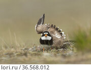 Ringed plover (Charadrius hiaticula) flapping wings in distraction display. Iceland. June. Стоковое фото, фотограф Paul Hobson / Nature Picture Library / Фотобанк Лори