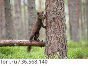 Pine marten (Martes martes) standing against tree trunk in Scots pine (Pinus sylvestris) woodland. Glenfeshie, Cairngorms National Park, Scotland, UK. Стоковое фото, фотограф SCOTLAND: The Big Picture / Nature Picture Library / Фотобанк Лори