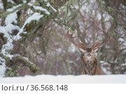 Red deer (Cervus elaphus) stag in Birch woodland. Alladale Wilderness Reserve, Ardgay, Highlands, Scotland, UK. December. Стоковое фото, фотограф SCOTLAND: The Big Picture / Nature Picture Library / Фотобанк Лори