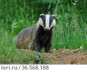 European badger (Meles meles) cub standing outside sett. UK, July. Стоковое фото, фотограф Andy Rouse / Nature Picture Library / Фотобанк Лори