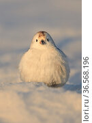 Snow bunting (Plectrophenax nivalis) male in snow. Finland. April. Стоковое фото, фотограф Andy Rouse / Nature Picture Library / Фотобанк Лори