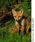 European red fox (Vulpes vulpes) cub sitting close to den. UK. June. Стоковое фото, фотограф Andy Rouse / Nature Picture Library / Фотобанк Лори