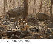 RF - Bengal tiger (Panthera tigris) sub-adult male aged three years, lying amongst rocks in forest. Ranthambhore National Park, India. (This image may... Стоковое фото, фотограф Andy Rouse / Nature Picture Library / Фотобанк Лори